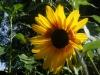 Bicentenary Sunflower