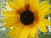 Bicentenary Sunflower