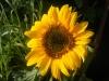 Big Smile Sunflower
