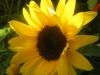 Choco Sun Sunflower