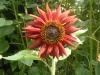 Earthwalker Sunflower
