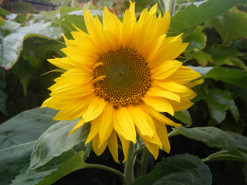 giant sunflower, Beautiful flower