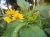 Giant Single Sunflower