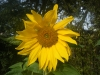 Giant Single Sunflower