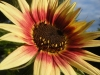 Indian Blanket Sunflower