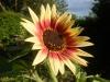 Indian Blanket Sunflower