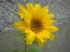 Irish Eyes Sunflower