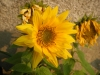 Irish Eyes Sunflower