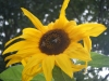 Kong Sunflower