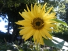 Lemon Queen Sunflower