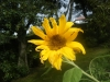 Mongolian Giant Sunflower