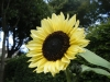 Moonwalker Sunflower