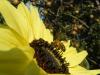 Moonwalker Sunflower