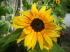 Music Box Sunflower