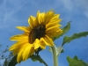 Russian Giant Sunflower