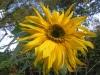 Skyscraper Sunflower