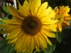 Sunspot Sunflower