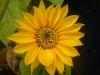 Sunspot Sunflower