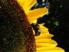 Taiyo Sunflower