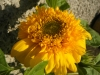 Teddy Bear Sunflower