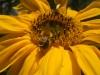 Titan Sunflower