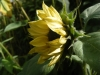 Valentine Sunflower