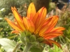 Velvet Queen Sunflower