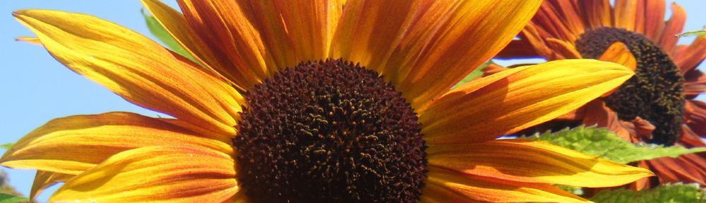 Earthwalker Sunflowers