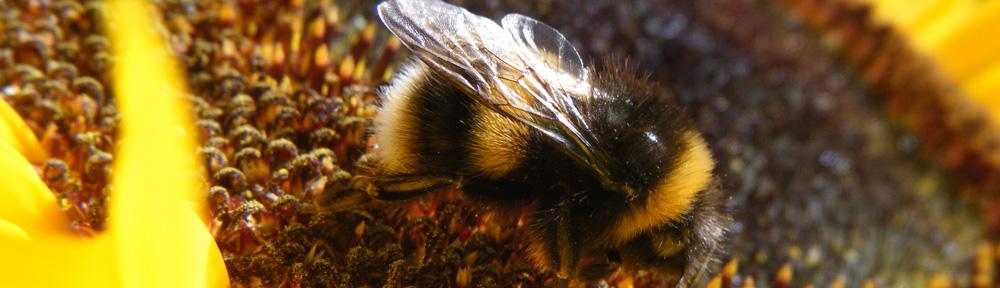 Bumblebee on a Taiyo Sunflower