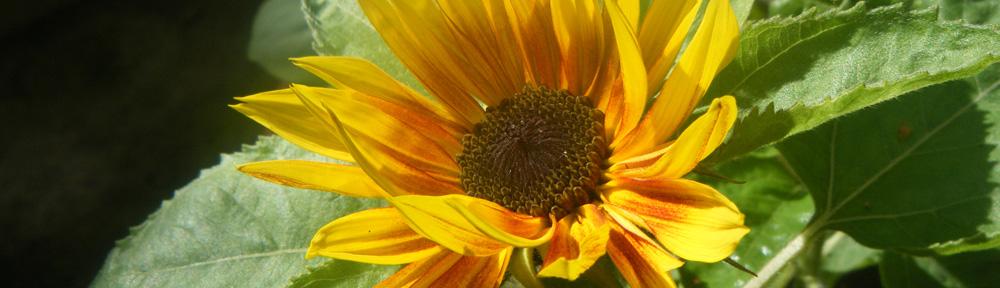 Music Box Sunflower