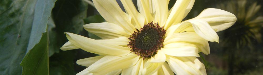 Italian White Sunflower
