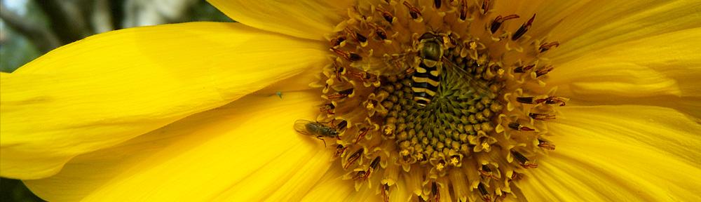 Mongolian Giant Sunflower